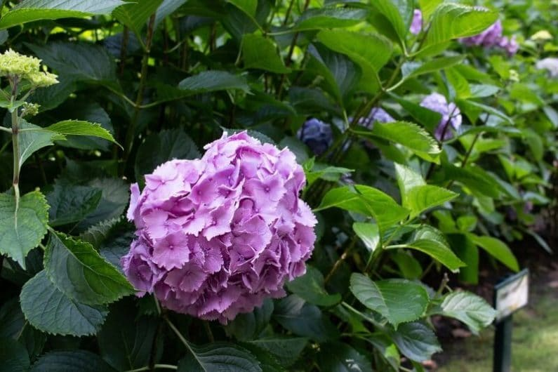 Hortensia rosa asturiana